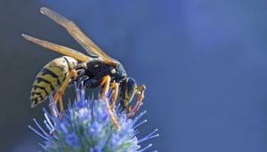 Wasp-Control-Vancouver-BC-Westside-Pest-Control