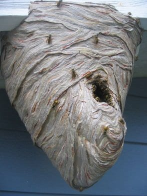 Wasps Nest in Vancouver