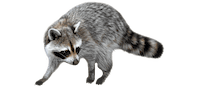 raccoon removal vancouver - Westside Pest Control