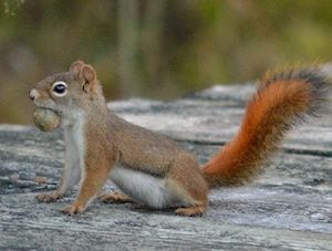 red-squirrel-vancouver-westside-pest-control