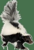 skunk removal vancouver - Westside Pest Control