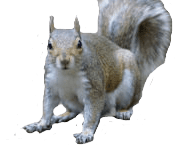squirrel removal vancouver- Westside Pest Control