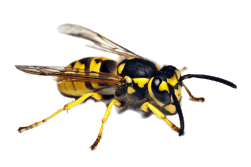 Wasp Control Vancouver - Westside Pest Control