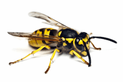 yellow-jacket-wasp-vancouver-westside-pest-control