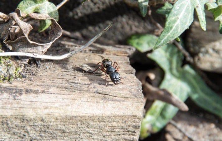 Carpenter ant 2