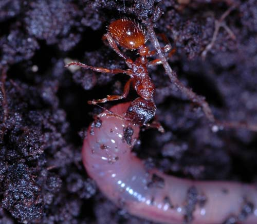 The European fire ant attacking an earthworm