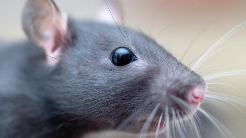 Rat resurgence Vancouver - Westside Pest Control