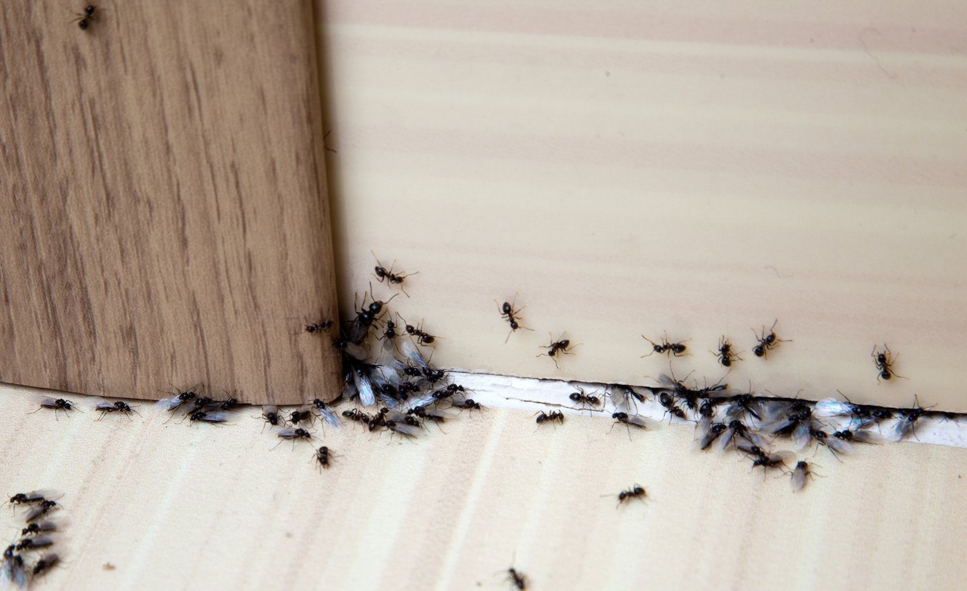 Carpenter Ants on walls in House - Vancouver - Westside Pest Control