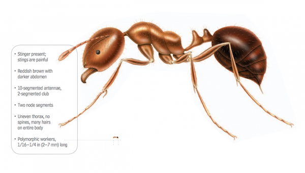 fire ant anatomy - Ultimate Guide to Fire Ant Removal