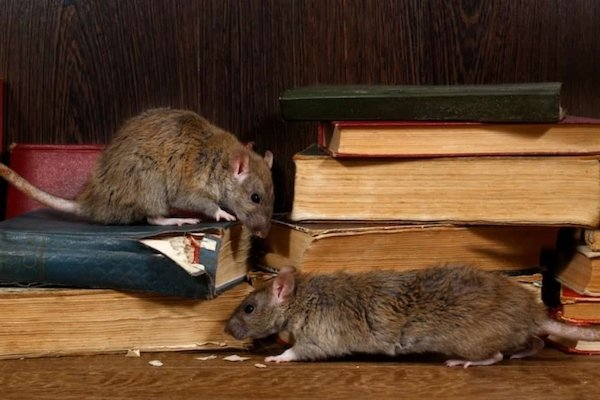 Latest Rat problems In Metro Vancouver - Westside Pest Control reports