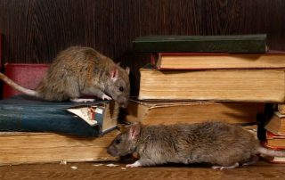 Rat problems in metro vancouver - Westside pest control owner speaks with report
