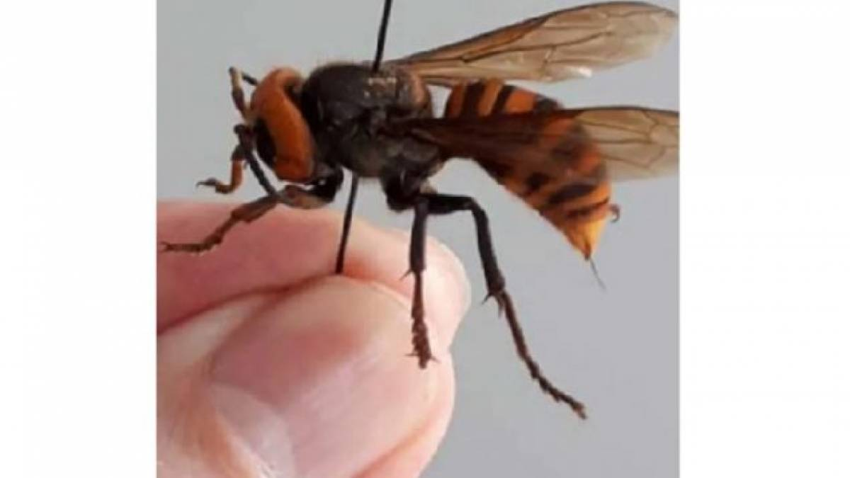 Giant Asian Hornets in hand of Metro Vancouver resident