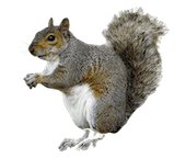 Squirrel removal - Westside Pest Control