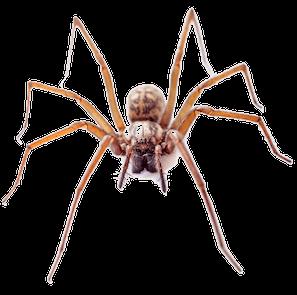 Spider Removal Vancouver - Westside Pest Control