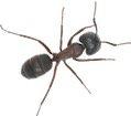 Carpenter Ant Control Maple Ridge - Westside Pest Control