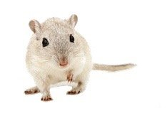 Mouse Control Maple Ridge BC - Westside Pest Control