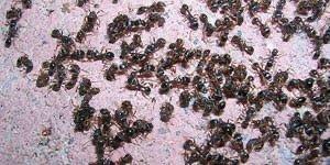 Pavement Ant Control Maple Ridge - Westside Pest Control
