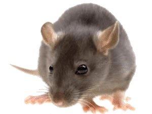 Rat Control Maple Ridge BC - Westside Pest Control